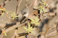 Pěnice brýlatá - Sylvia conspicillata - Spectacled Warbler