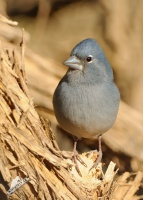 Pěnkava kanárská - Fringilla teydea - Blue Chaffinch