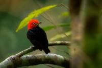Pipulka červenohlavá - Ceratopipra mentalis - Red-capped manakin - samec/male