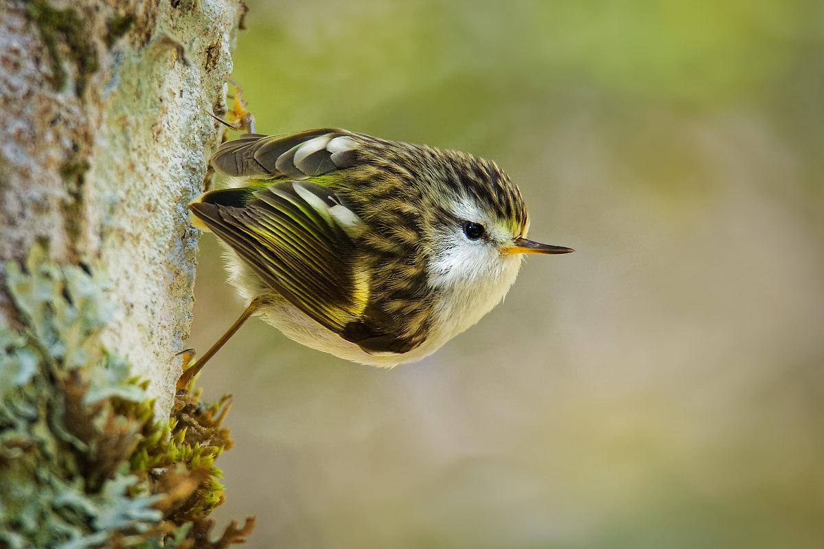 Pokřovník zelený (Acanthisitta chloris), anglicky rifleman, maorsky titipounamu, nejmenší pták Nového Zélandu, zástupce pokřovníkovitých (Acanthisittidae, anglicky New Zealand Wrens).
