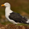 Racek morsky - Larus marinus - Great Black-backed Gull 3286