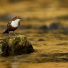 Skorec vodni - Cinclus cinclus - White-throated Dipper 6771