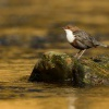 Skorec vodni - Cinclus cinclus - White-throated Dipper 6793