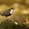 Skorec vodní - Cinclus cinclus - White-throated Dipper 6722