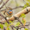 Slavik modracek - Luscinia svecica - Bluethroat 7936