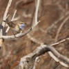Slavik modracek - Luscinia svecica - Bluethroat 8585