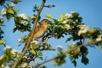 Slavík obecný - Luscinia megarhynchos - Nightingale