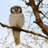 Sovice krahujova - Surnia ulula - Northern Hawk Owl 7493