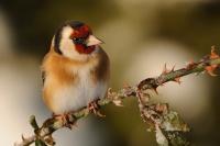 Stehlík obecný - Goldfinch