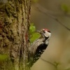 Strakapoud maly - Dendrocopos minor - Lesser Spotted Woodpecker 8896