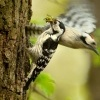 Strakapoud maly - Dendrocopos minor - Lesser Spotted Woodpecker 8950