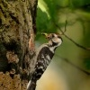 Strakapoud maly - Dendrocopos minor - Lesser Spotted Woodpecker 9598