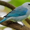 Tangara modra - Tangara episcopus - Blue-grey Tanager o1554