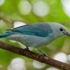Tangara modra - Tangara episcopus - Blue-grey Tanager o1565
