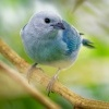 Tangara modra - Tangara episcopus - Blue-grey Tanager o1579