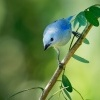 Tangara modra - Tangara episcopus - Blue-grey Tanager o5208