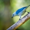 Tangara modra - Tangara episcopus - Blue-grey Tanager o5222