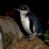 Tucnak nejmensi - Eudyptula minor - Little Penguin - korora 7464