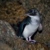 Tucnak nejmensi - Eudyptula minor - Little Penguin o9318