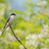 Tuhyk mensi - Lanius minor - Lesser Gray Shrike 5511