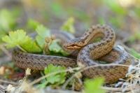 Užovka hladká - Coronella austriaca - Smooth Snake