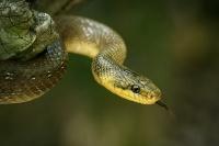 Užovka stromová - Zamenis longissimus - Aesculapean Snake