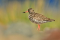 Vodous rudonohy - Tringa totanus - Common Redshank 6499a