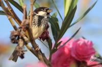 Vrabec pokřovní - Passer hispaniolensis - Spanish Sparrow