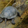 Zelva bahenni - Emys orbicularis - European Pond Turtle 3196