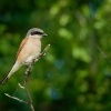 tuhyk obecny - Lanius collurio - Red-backed Shrike 0004